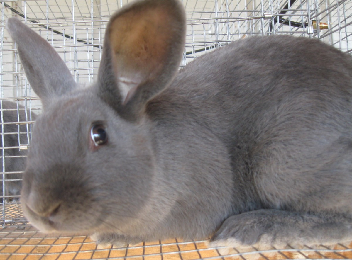 American Rabbit Doe