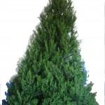 real versus fake christmas tree