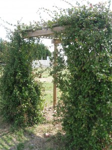 Learn From Our Building Mistakes Of A Jasmine Pergola