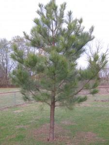 longleaf pine built soil loblolly