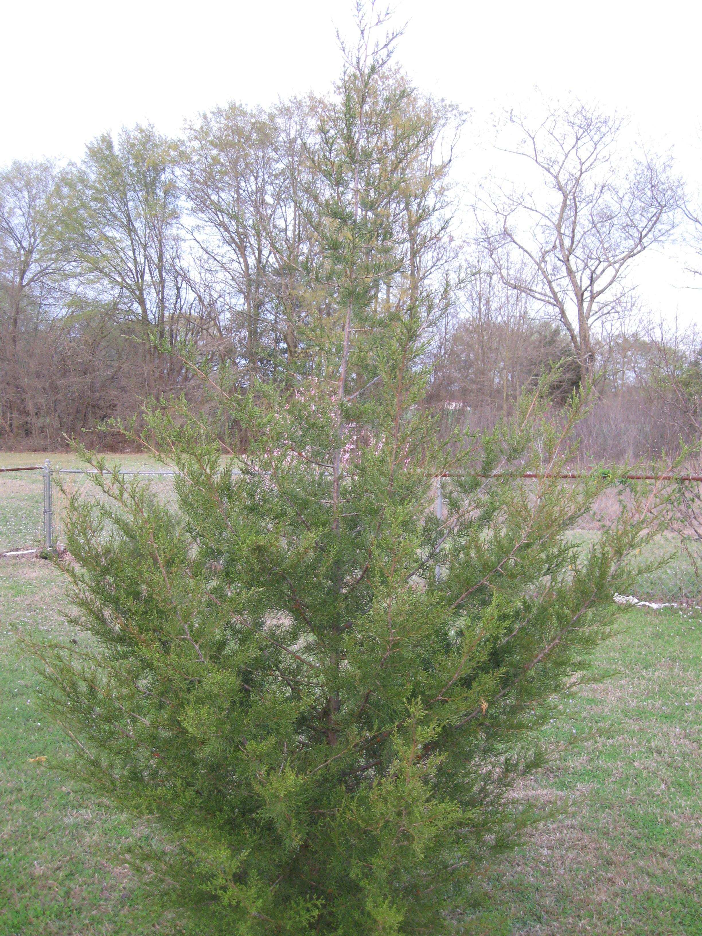 longleaf pine built soil Longleaf