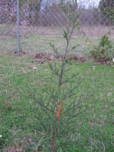 longleaf pine built soil small Longleaf