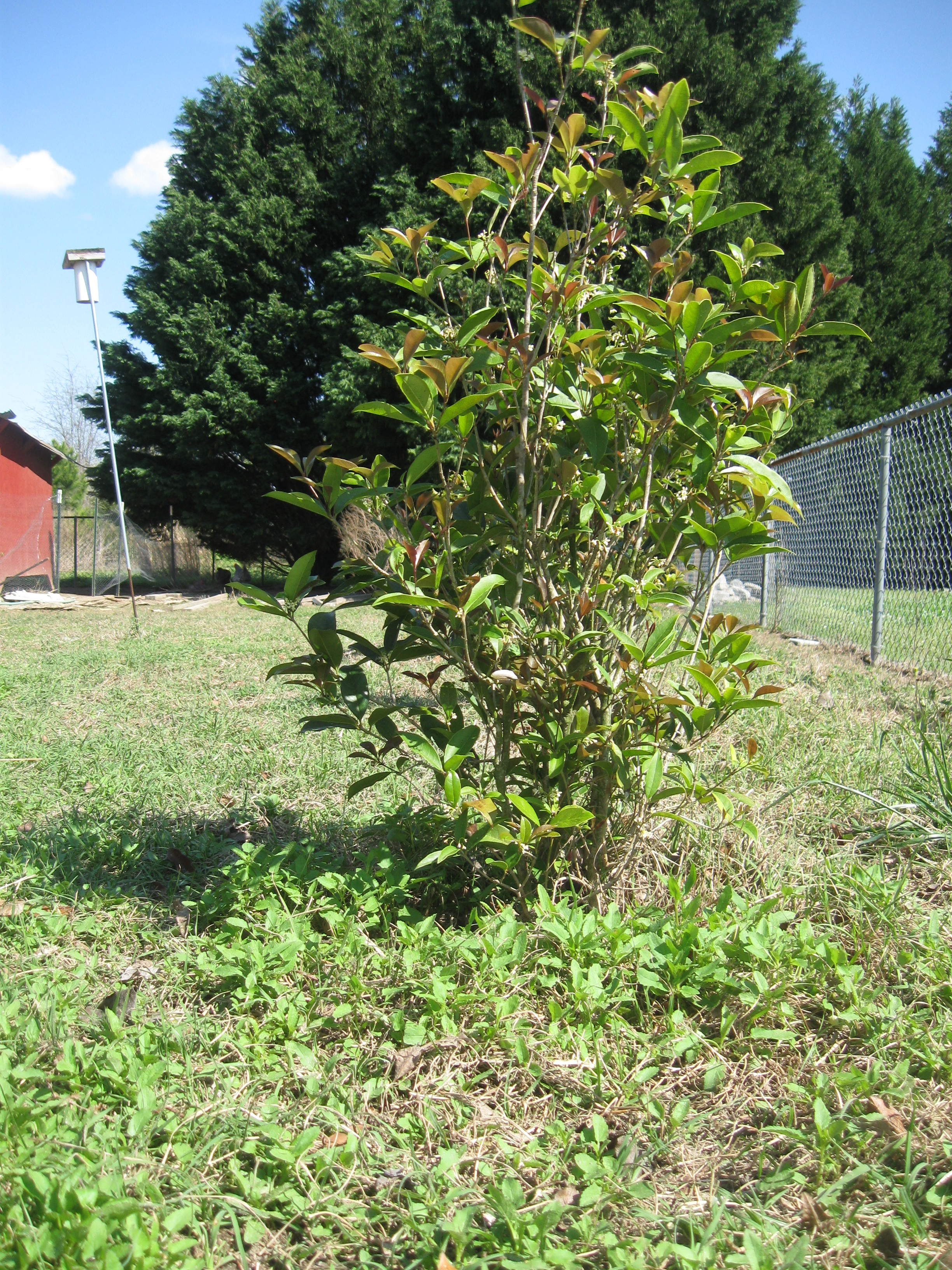 Privacy fence shrubs can ensure redundancy in you private backyard - Shrubbery for privacy ...