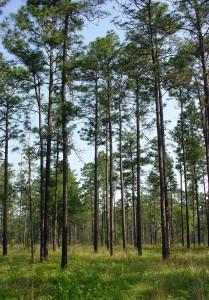 longleaf pine built soil