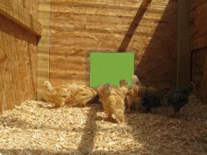 Chicken Tractor chicks