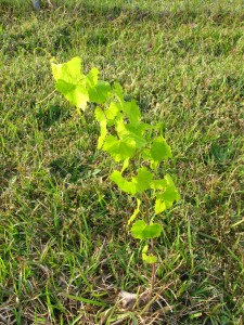 applied knowledge muscadine medium